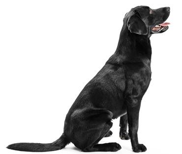 top-dog-lab